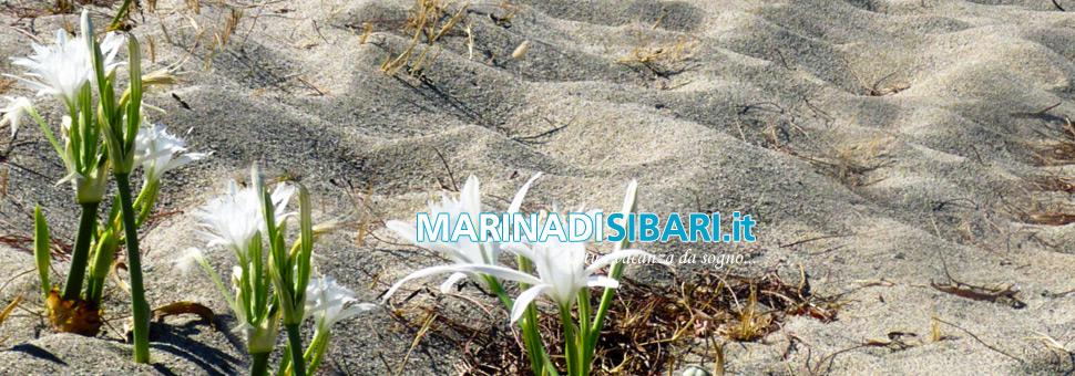 Fiori sulla spiaggiadalla sabbia di Marina di Sibari nascono questi fiori così bianchi e meravigliosi...